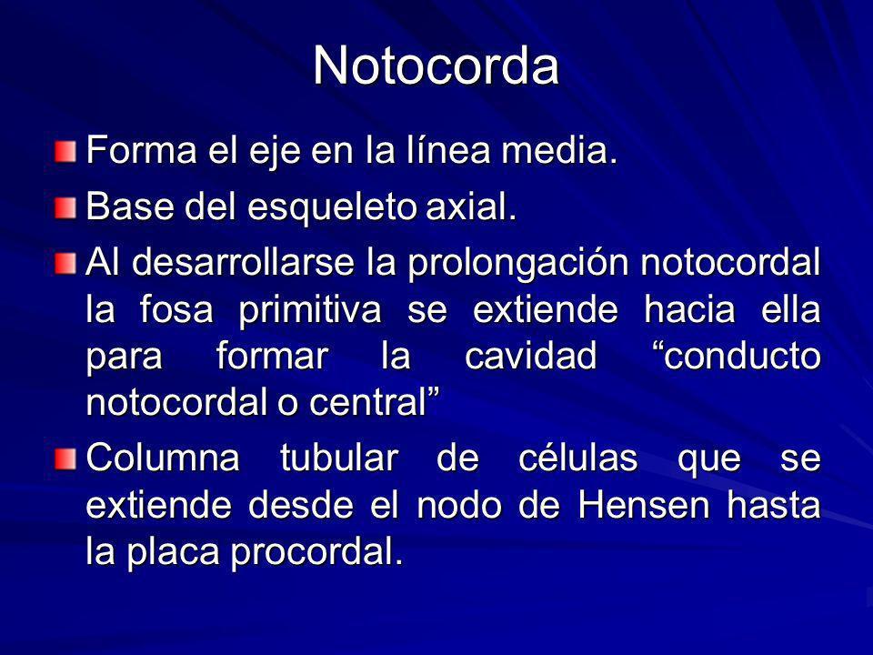 Notocorda Forma el eje en la línea media.Base del esqueleto axial.