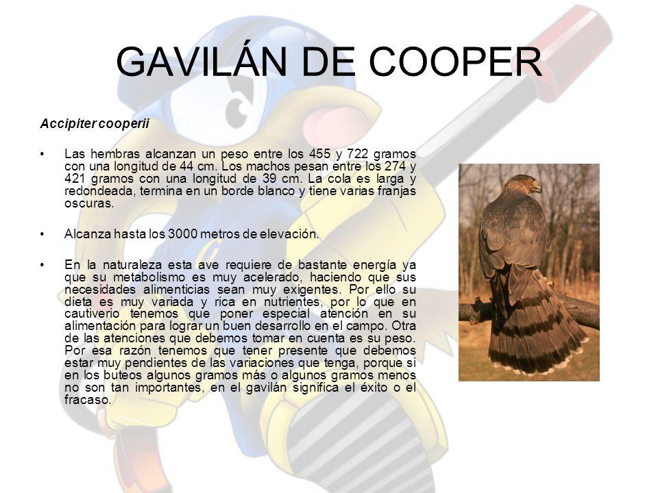 GAVILÁN DE COOPER Accipiter cooperii Las hembras alcanzan un peso entre los 455 y 722 gramos con una longitud de 44 cm. Los machos pesan entre los 274