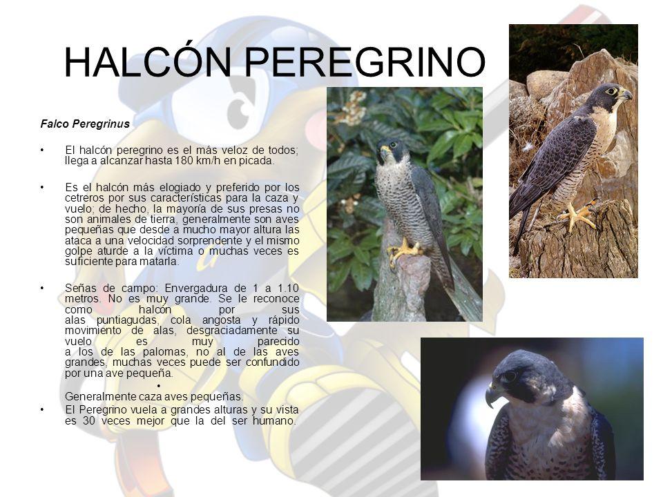 HALCÓN PEREGRINO Falco Peregrinus El halcón peregrino es el más veloz de todos; llega a alcanzar hasta 180 km/h en picada. Es el halcón más elogiado y