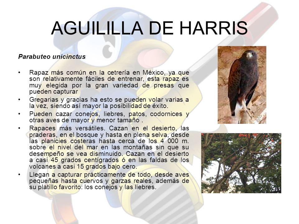 AGUILILLA DE HARRIS Parabuteo unicinctus Rapaz más común en la cetrería en México, ya que son relativamente fáciles de entrenar, esta rapaz es muy ele