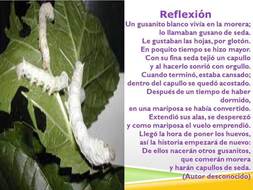 Reflexión Un gusanito blanco vivía en la morera; lo llamaban gusano de seda. Le gustaban las hojas, por glotón. En poquito tiempo se hizo mayor. Con s
