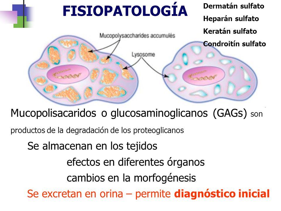 FISIOPATOLOGÍA Mucopolisacaridos o glucosaminoglicanos (GAGs) son productos de la degradación de los proteoglicanos Se almacenan en los tejidos efecto