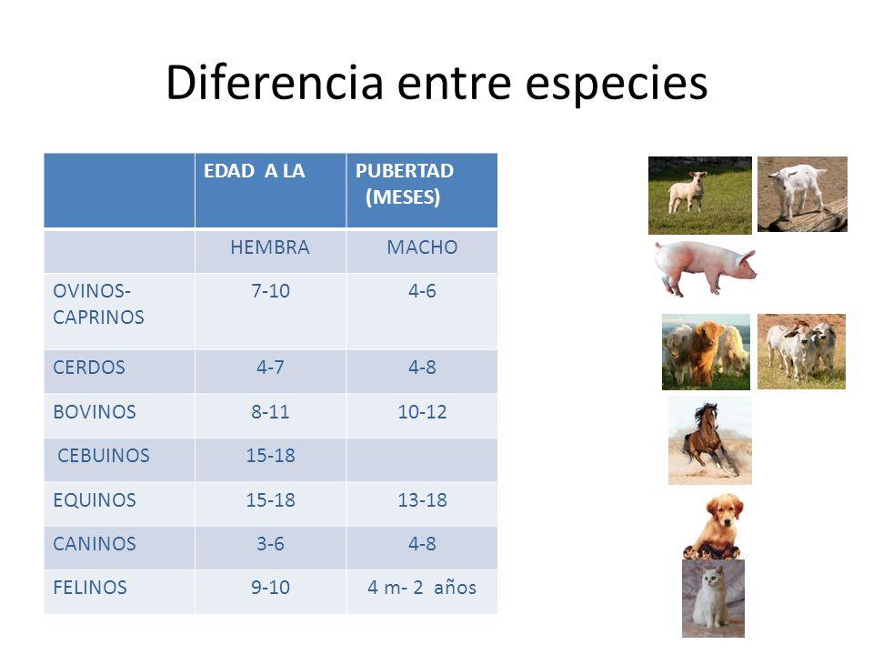 Diferencia entre especies EDAD A LA PUBERTAD (MESES) HEMBRAMACHO OVINOS- CAPRINOS 7-104-6 CERDOS4-74-8 BOVINOS8-1110-12 CEBUINOS15-18 EQUINOS15-1813-18 CANINOS3-64-8 FELINOS9-104 m- 2 años