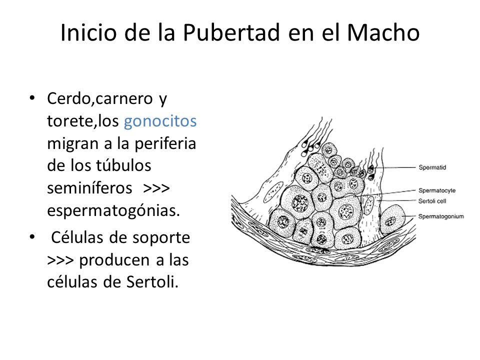 Inicio de la Pubertad en el Macho Cerdo,carnero y torete,los gonocitos migran a la periferia de los túbulos seminíferos >>> espermatogónias.
