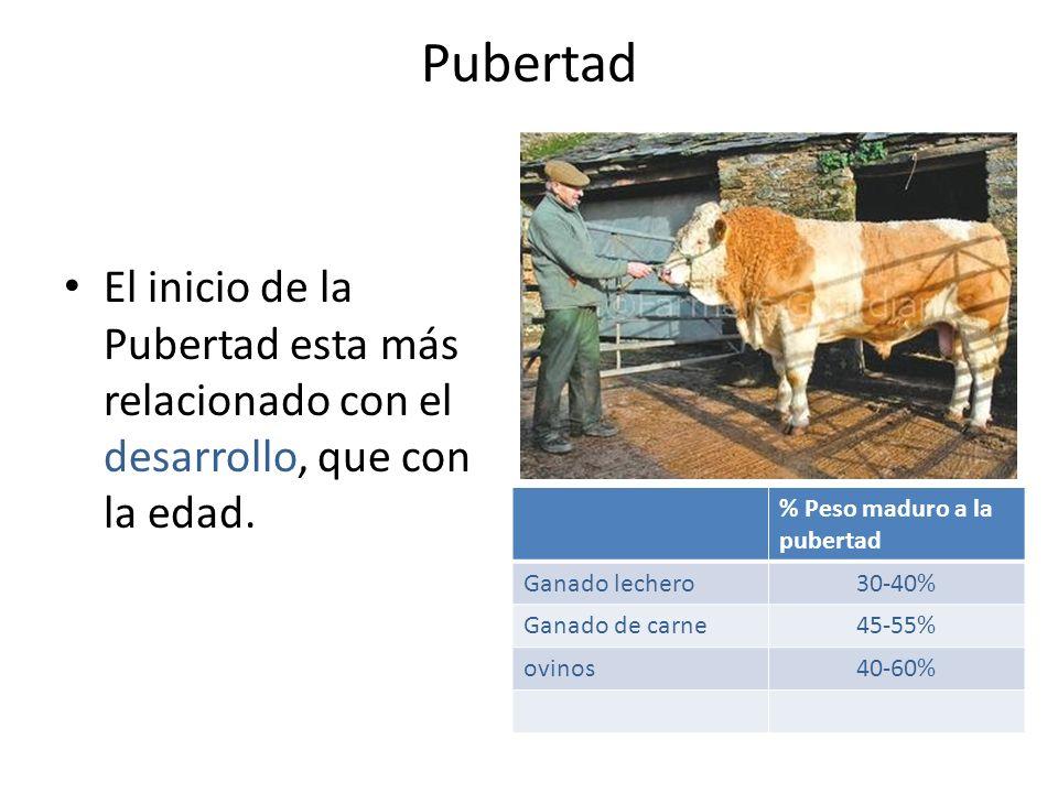 Pubertad El inicio de la Pubertad esta más relacionado con el desarrollo, que con la edad. % Peso maduro a la pubertad Ganado lechero30-40% Ganado de