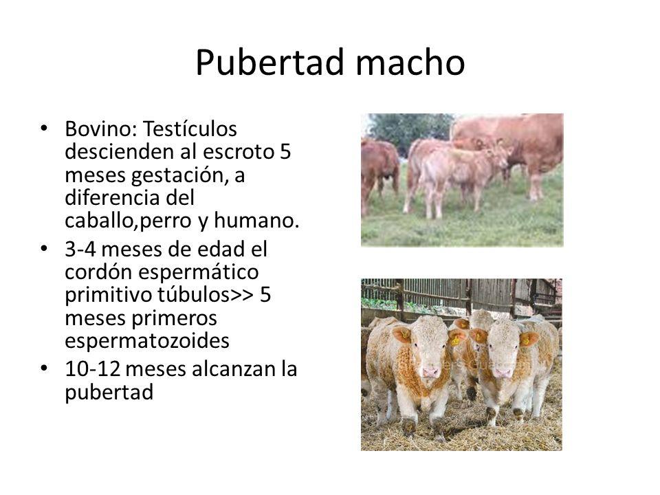 Pubertad macho Bovino: Testículos descienden al escroto 5 meses gestación, a diferencia del caballo,perro y humano. 3-4 meses de edad el cordón esperm