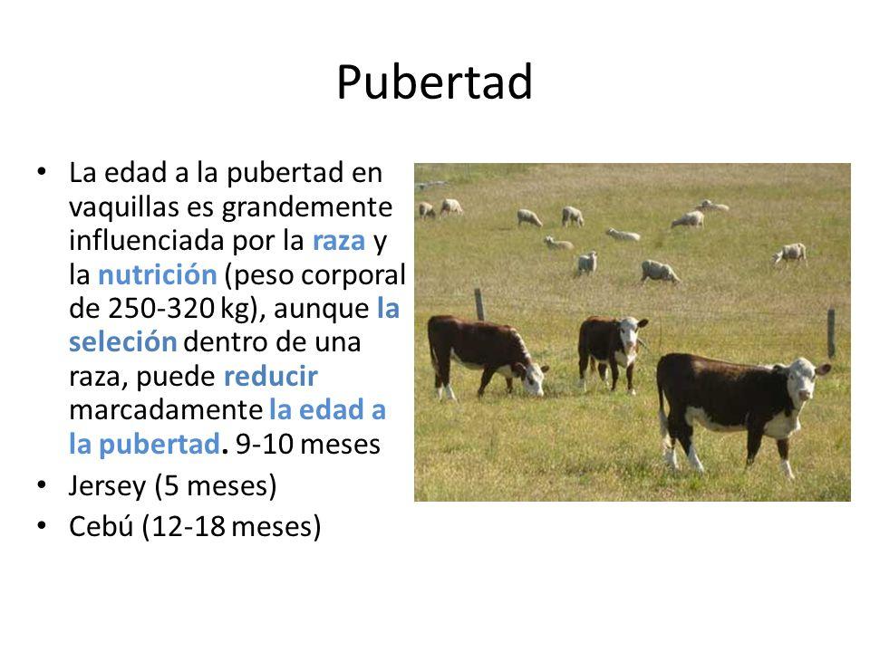 Pubertad La edad a la pubertad en vaquillas es grandemente influenciada por la raza y la nutrición (peso corporal de 250-320 kg), aunque la seleción dentro de una raza, puede reducir marcadamente la edad a la pubertad.