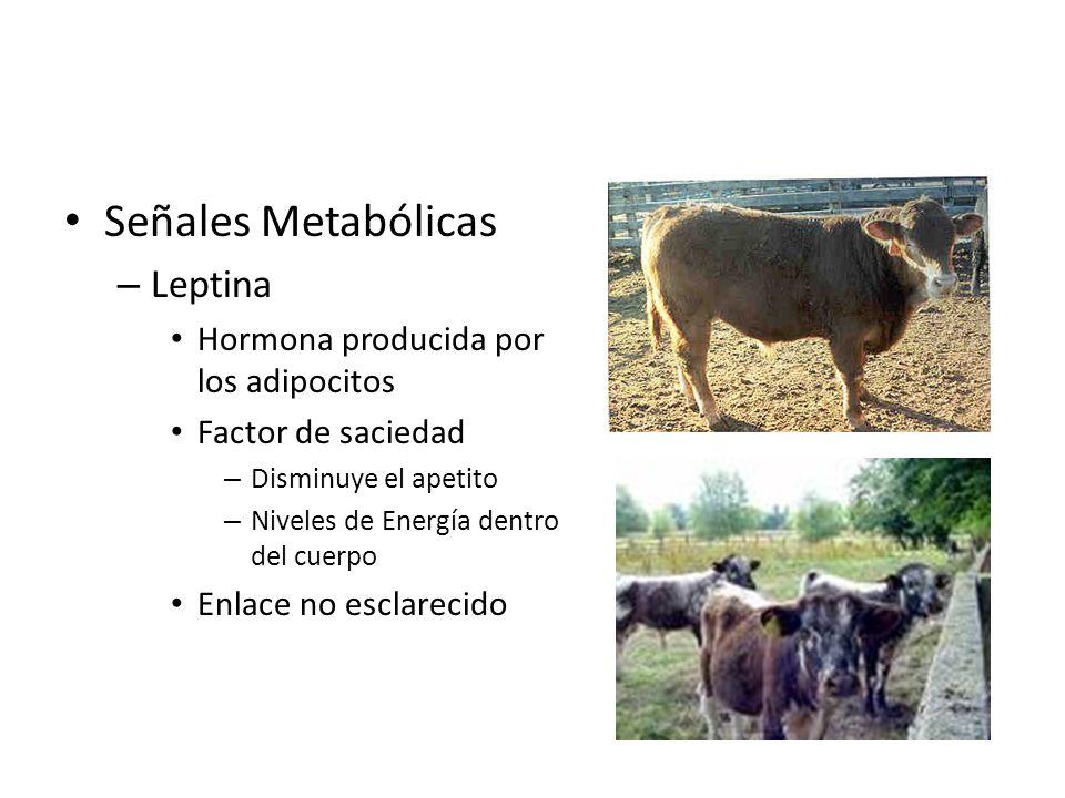 Señales Metabólicas – Leptina Hormona producida por los adipocitos Factor de saciedad – Disminuye el apetito – Niveles de Energía dentro del cuerpo En