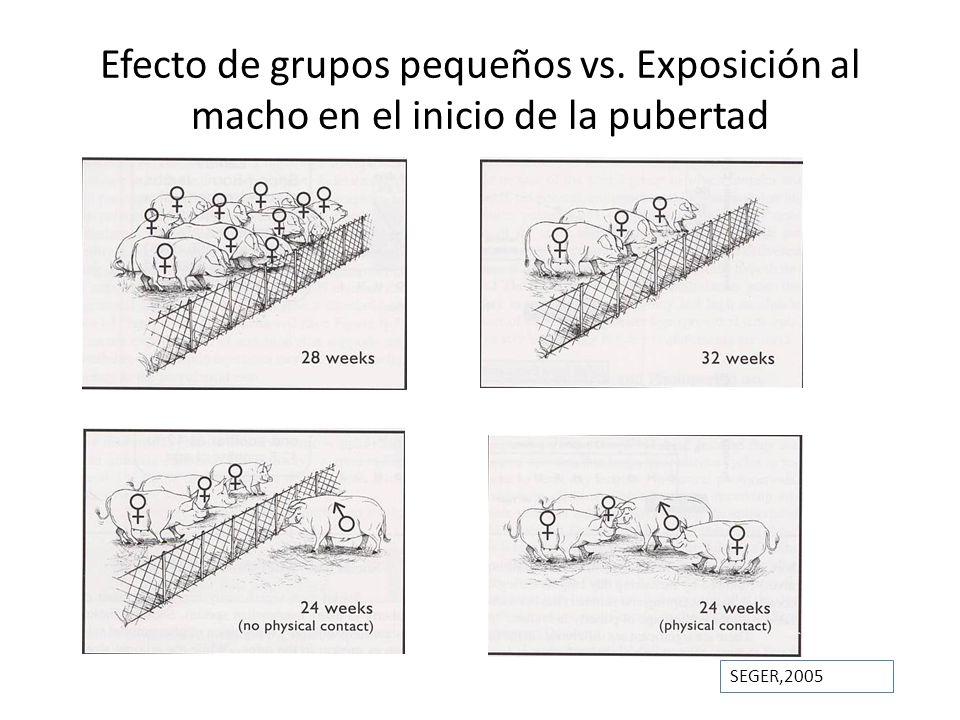 Efecto de grupos pequeños vs. Exposición al macho en el inicio de la pubertad SEGER,2005