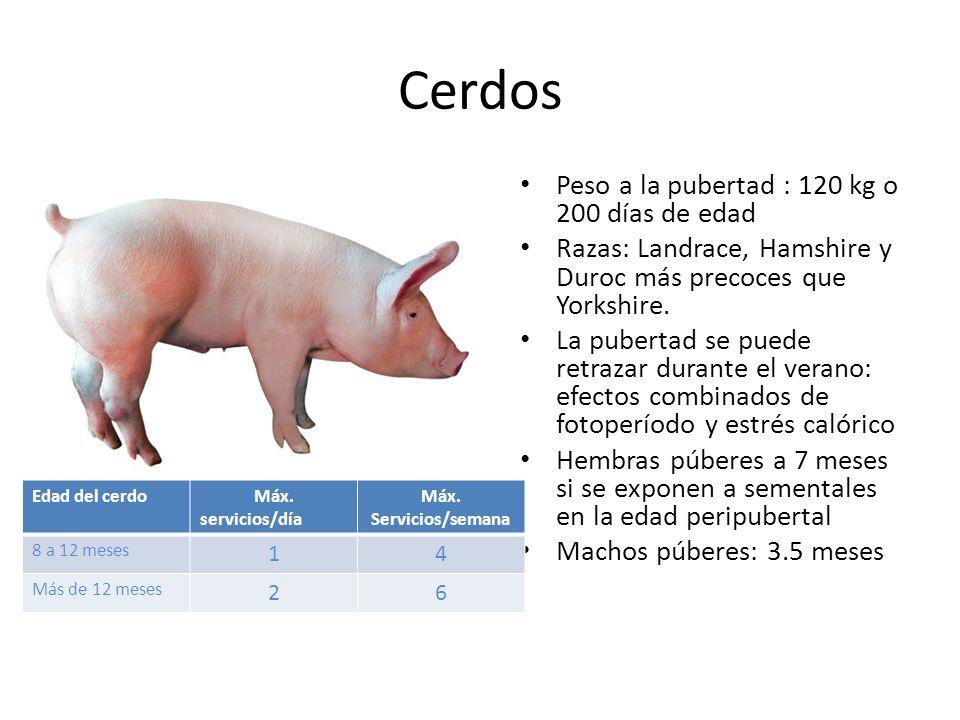 Cerdos Peso a la pubertad : 120 kg o 200 días de edad Razas: Landrace, Hamshire y Duroc más precoces que Yorkshire.