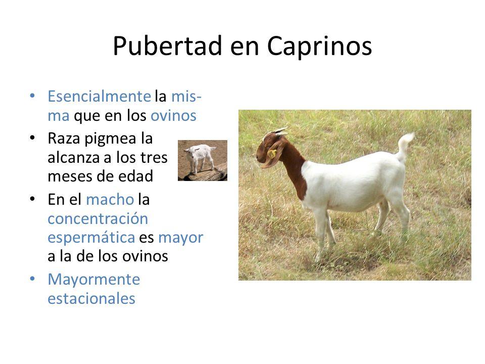 Pubertad en Caprinos Esencialmente la mis- ma que en los ovinos Raza pigmea la alcanza a los tres meses de edad En el macho la concentración espermática es mayor a la de los ovinos Mayormente estacionales