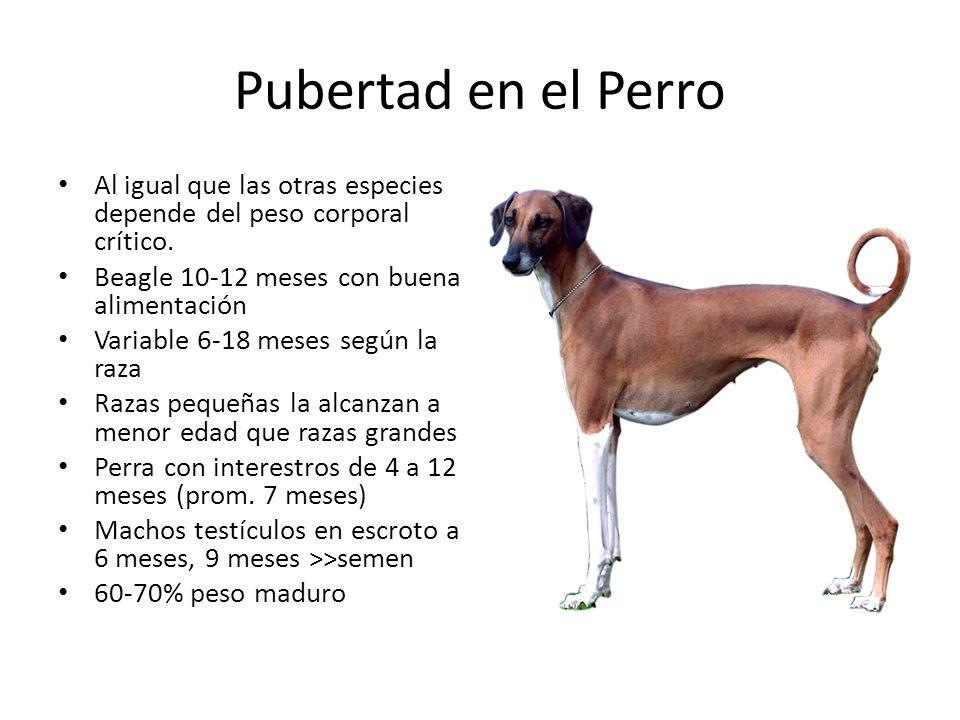 Pubertad en el Perro Al igual que las otras especies depende del peso corporal crítico.