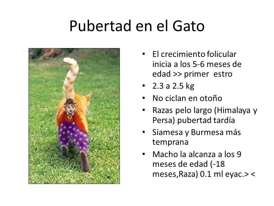 Pubertad en el Gato El crecimiento folicular inicia a los 5-6 meses de edad >> primer estro 2.3 a 2.5 kg No ciclan en otoño Razas pelo largo (Himalaya y Persa) pubertad tardía Siamesa y Burmesa más temprana Macho la alcanza a los 9 meses de edad (-18 meses,Raza) 0.1 ml eyac.> <