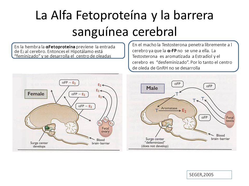 La Alfa Fetoproteína y la barrera sanguínea cerebral En la hembra la αFetoproteína previene la entrada de E 2 al cerebro. Entonces el Hipotálamo está