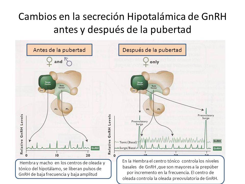 Cambios en la secreción Hipotalámica de GnRH antes y después de la pubertad Antes de la pubertadDespués de la pubertad Hembra y macho en los centros de oleada y tónico del hipotálamo, se liberan pulsos de GnRH de baja frecuencia y baja amplitud En la Hembra el centro tónico controla los niveles basales de GnRH,que son mayores a la prepúber por incremento en la frecuencia.