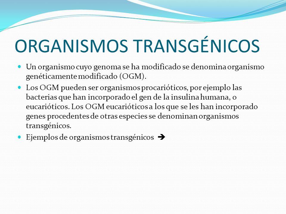 ORGANISMOS TRANSGÉNICOS Un organismo cuyo genoma se ha modificado se denomina organismo genéticamente modificado (OGM). Los OGM pueden ser organismos