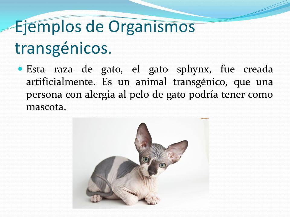 Ejemplos de Organismos transgénicos. Esta raza de gato, el gato sphynx, fue creada artificialmente. Es un animal transgénico, que una persona con aler