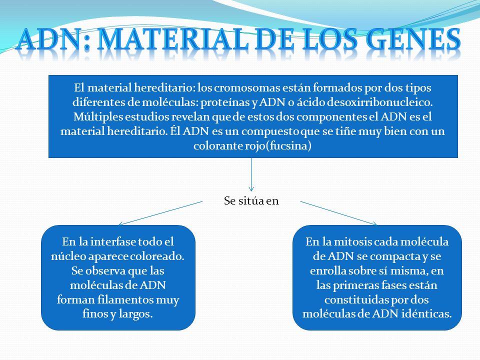El material hereditario: los cromosomas están formados por dos tipos diferentes de moléculas: proteínas y ADN o ácido desoxirribonucleico. Múltiples e