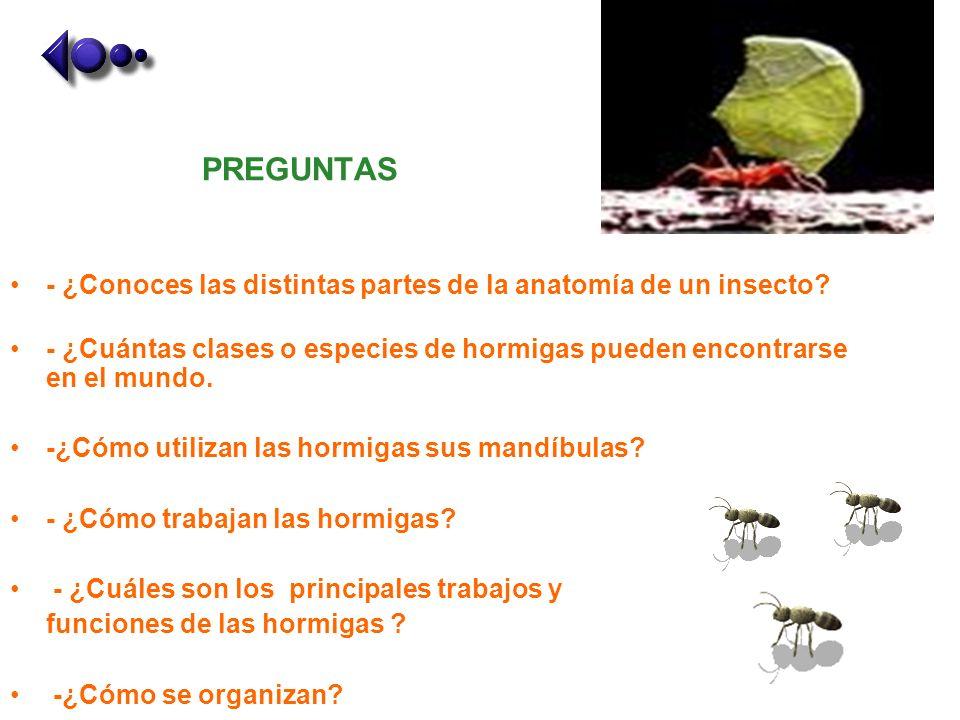 PREGUNTAS - ¿Conoces las distintas partes de la anatomía de un insecto? - ¿Cuántas clases o especies de hormigas pueden encontrarse en el mundo. -¿Cóm