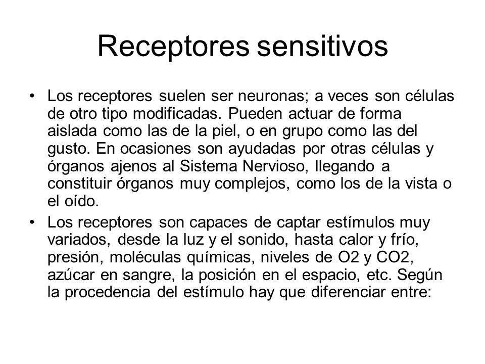 Receptores sensitivos Los receptores suelen ser neuronas; a veces son células de otro tipo modificadas. Pueden actuar de forma aislada como las de la