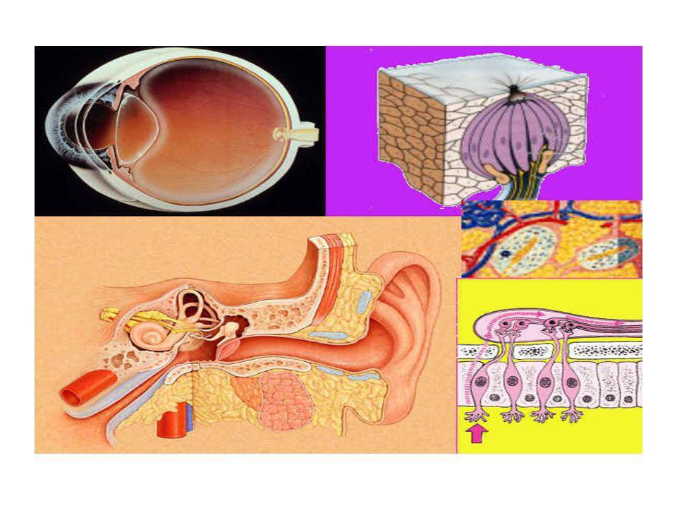 Receptores del tacto y el dolor Se encuentran fundamentalmente en nuestra piel, tanto fuera de nuestro cuerpo, como en las aberturas, en la boca, en la nariz y oído, en los órganos genitales, etc.