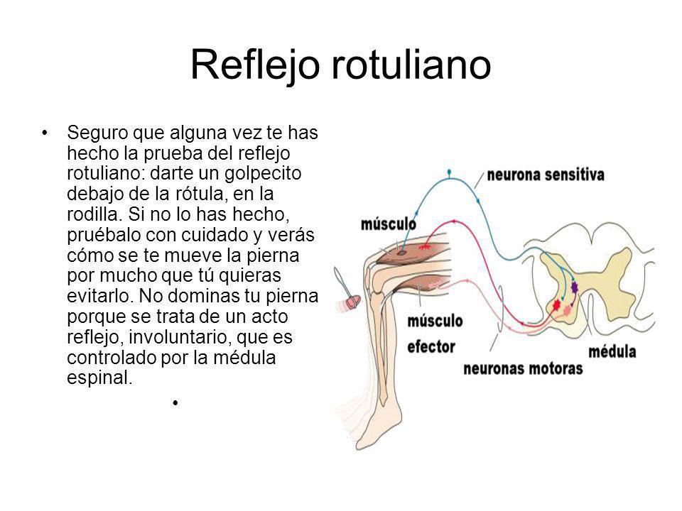 Reflejo rotuliano Seguro que alguna vez te has hecho la prueba del reflejo rotuliano: darte un golpecito debajo de la rótula, en la rodilla. Si no lo