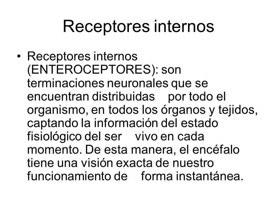 Receptores internos Receptores internos (ENTEROCEPTORES): son terminaciones neuronales que se encuentran distribuidas por todo el organismo, en todos