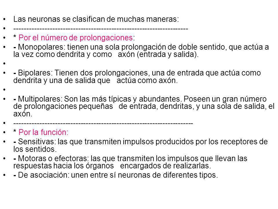 Las neuronas se clasifican de muchas maneras: -------------------------------------------------------------------- * Por el número de prolongaciones: