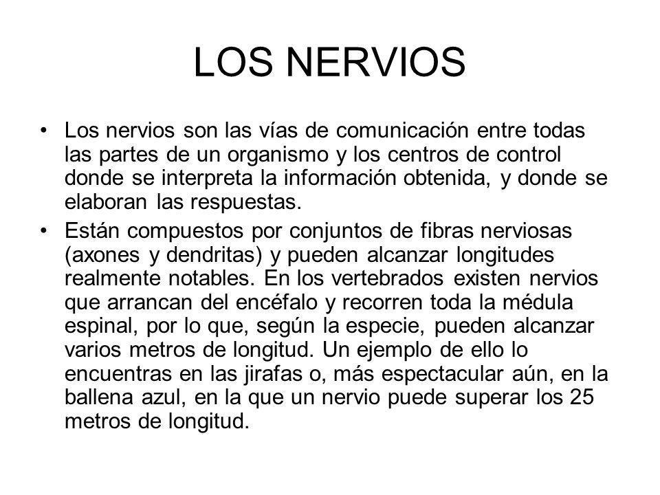 LOS NERVIOS Los nervios son las vías de comunicación entre todas las partes de un organismo y los centros de control donde se interpreta la informació