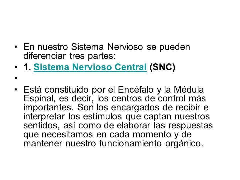 En nuestro Sistema Nervioso se pueden diferenciar tres partes: 1. Sistema Nervioso Central (SNC)Sistema Nervioso Central Está constituido por el Encéf