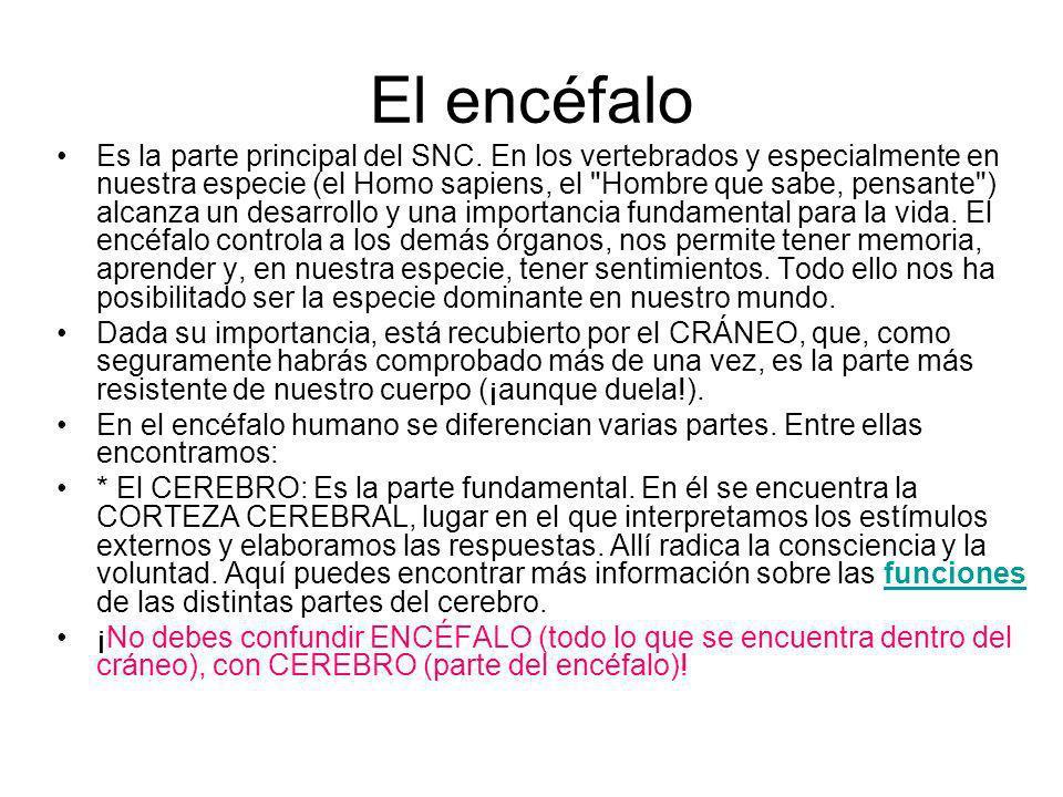 El encéfalo Es la parte principal del SNC. En los vertebrados y especialmente en nuestra especie (el Homo sapiens, el