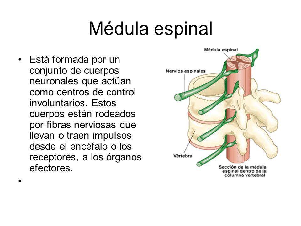 Médula espinal Está formada por un conjunto de cuerpos neuronales que actúan como centros de control involuntarios. Estos cuerpos están rodeados por f