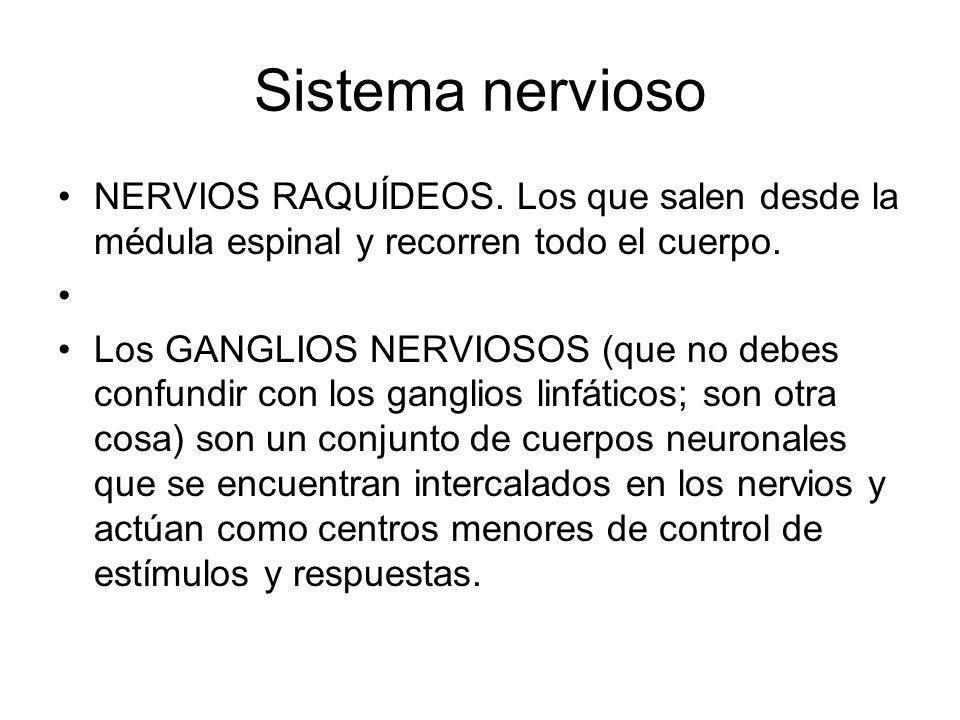Sistema nervioso NERVIOS RAQUÍDEOS. Los que salen desde la médula espinal y recorren todo el cuerpo. Los GANGLIOS NERVIOSOS (que no debes confundir co