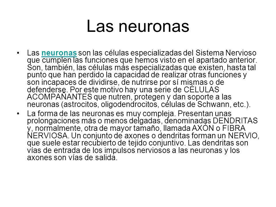 Las neuronas Las neuronas son las células especializadas del Sistema Nervioso que cumplen las funciones que hemos visto en el apartado anterior. Son,