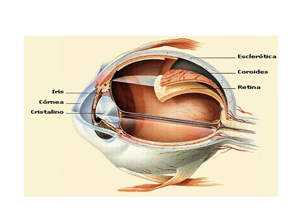 La luz entra al interior del globo ocular atravesando la córnea, y el cristalino enfoca la imagen sobre la retina, que es el lugar donde se encuentran las células receptoras.