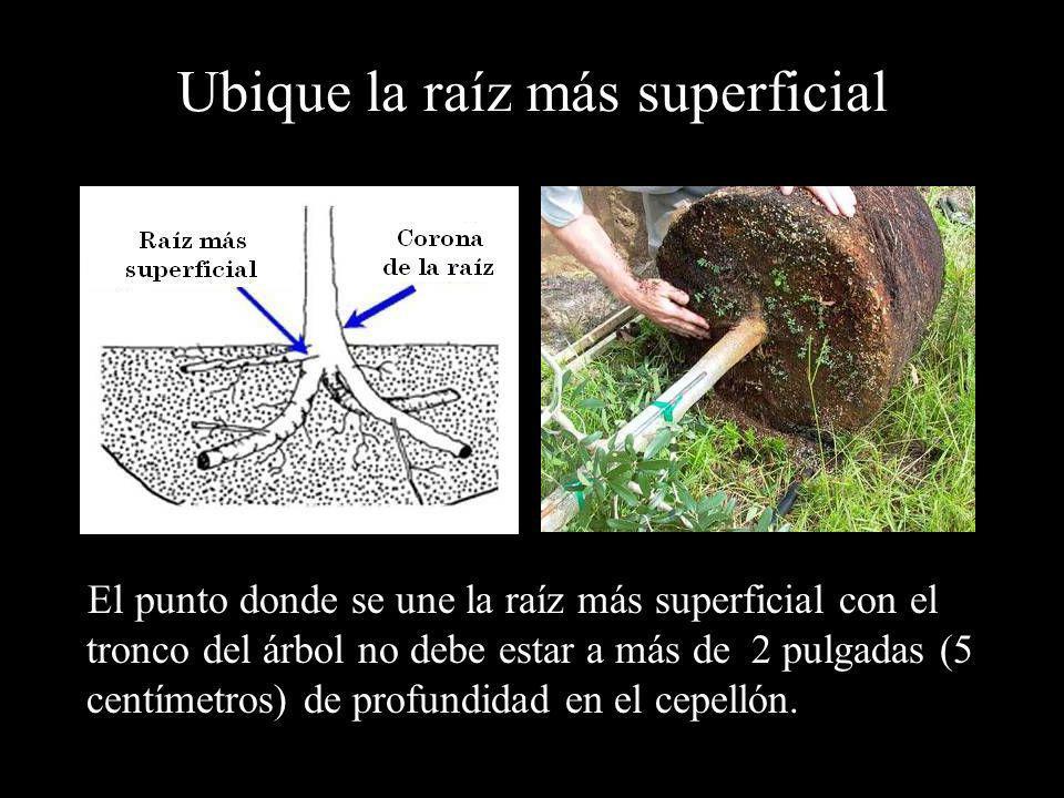 Ubique la raíz más superficial El punto donde se une la raíz más superficial con el tronco del árbol no debe estar a más de 2 pulgadas (5 centímetros)