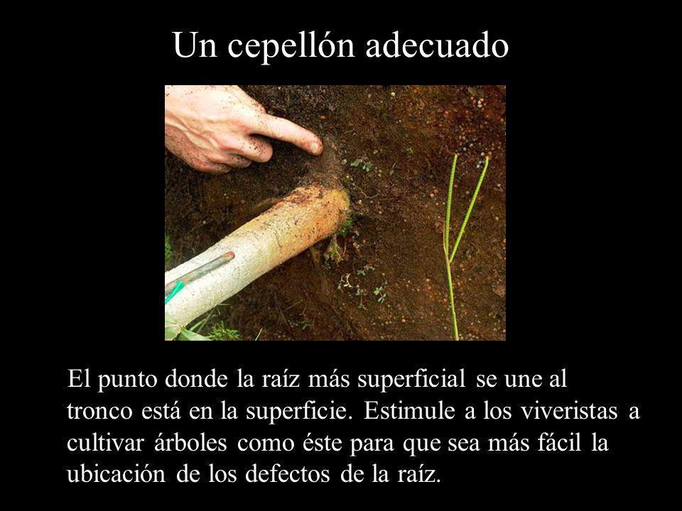 Un cepellón adecuado El punto donde la raíz más superficial se une al tronco está en la superficie. Estimule a los viveristas a cultivar árboles como