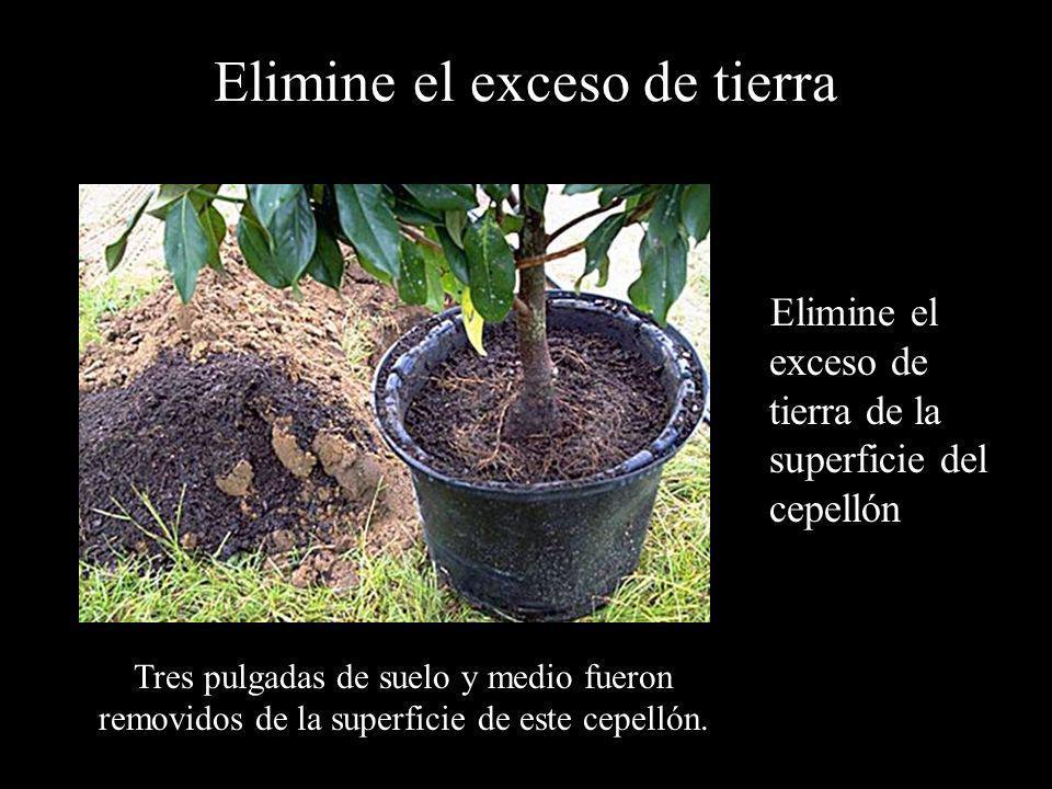 Elimine el exceso de tierra Elimine el exceso de tierra de la superficie del cepellón Tres pulgadas de suelo y medio fueron removidos de la superficie