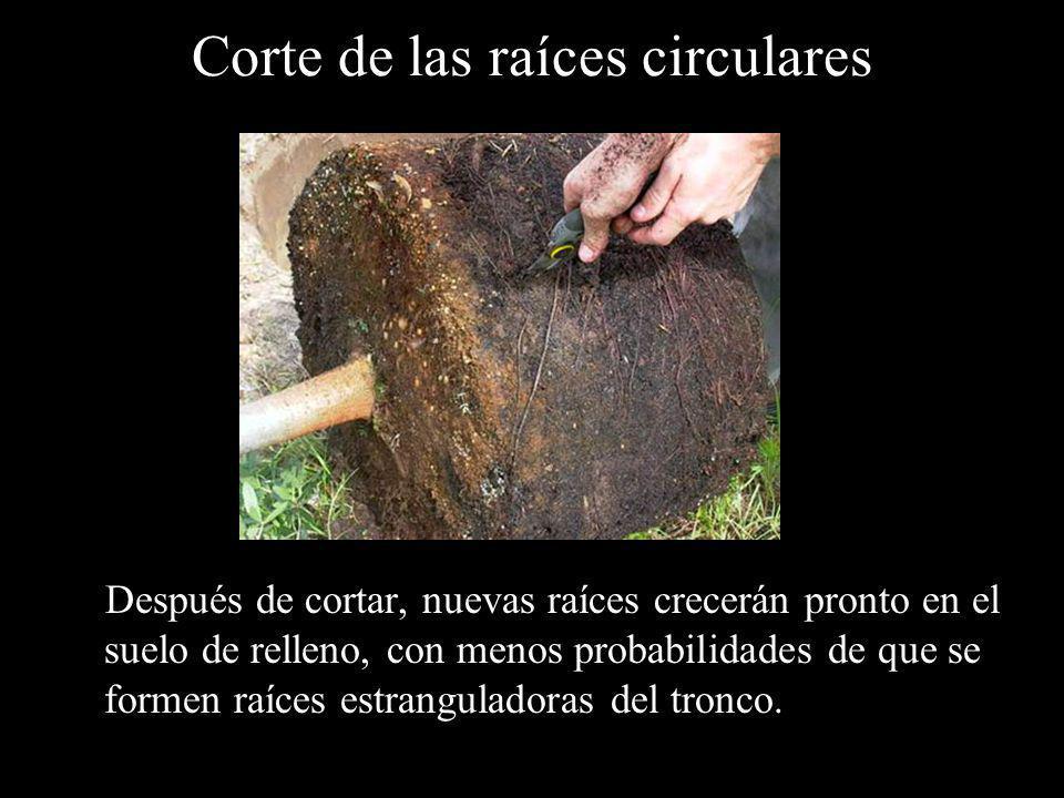 Corte de las raíces circulares Después de cortar, nuevas raíces crecerán pronto en el suelo de relleno, con menos probabilidades de que se formen raíc