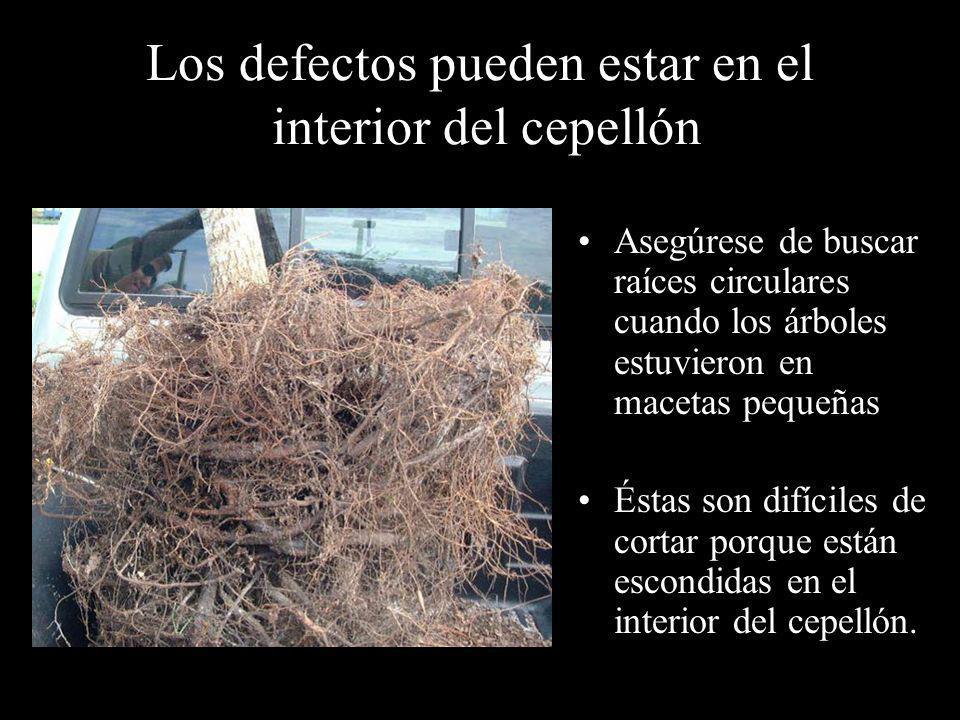Los defectos pueden estar en el interior del cepellón Asegúrese de buscar raíces circulares cuando los árboles estuvieron en macetas pequeñas Éstas so