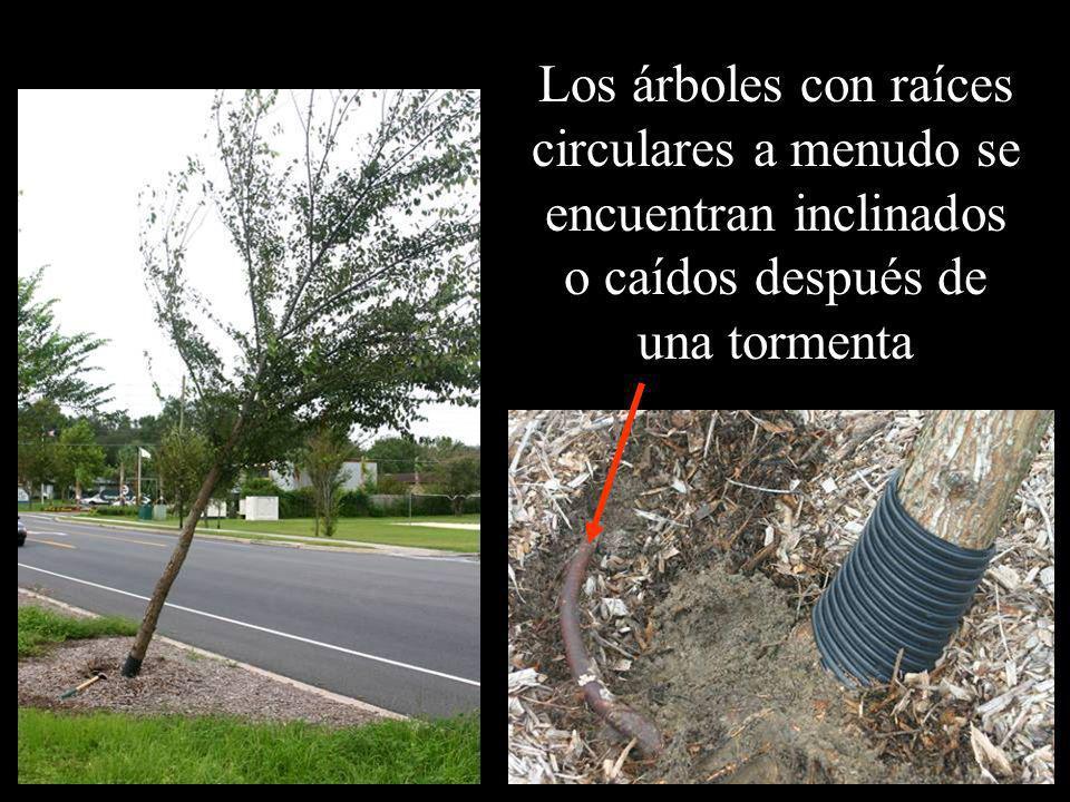 Los árboles con raíces circulares a menudo se encuentran inclinados o caídos después de una tormenta