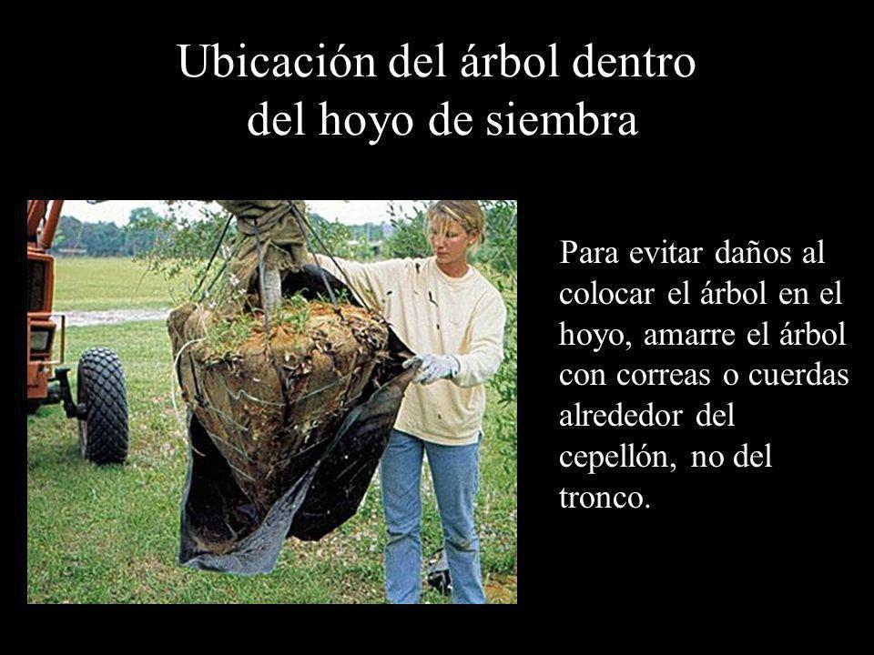 Ubicación del árbol dentro del hoyo de siembra Para evitar daños al colocar el árbol en el hoyo, amarre el árbol con correas o cuerdas alrededor del c
