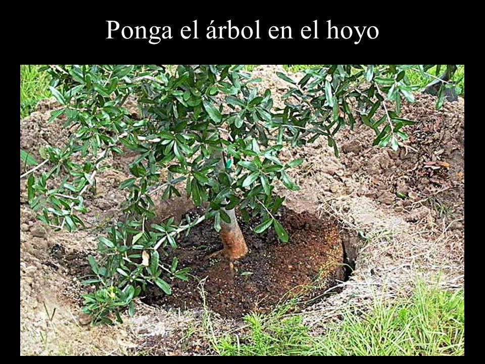 Ponga el árbol en el hoyo