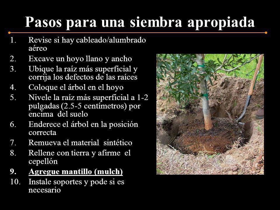 Pasos para una siembra apropiada 1.Revise si hay cableado/alumbrado aéreo 2.Excave un hoyo llano y ancho 3.Ubique la raíz más superficial y corrija lo