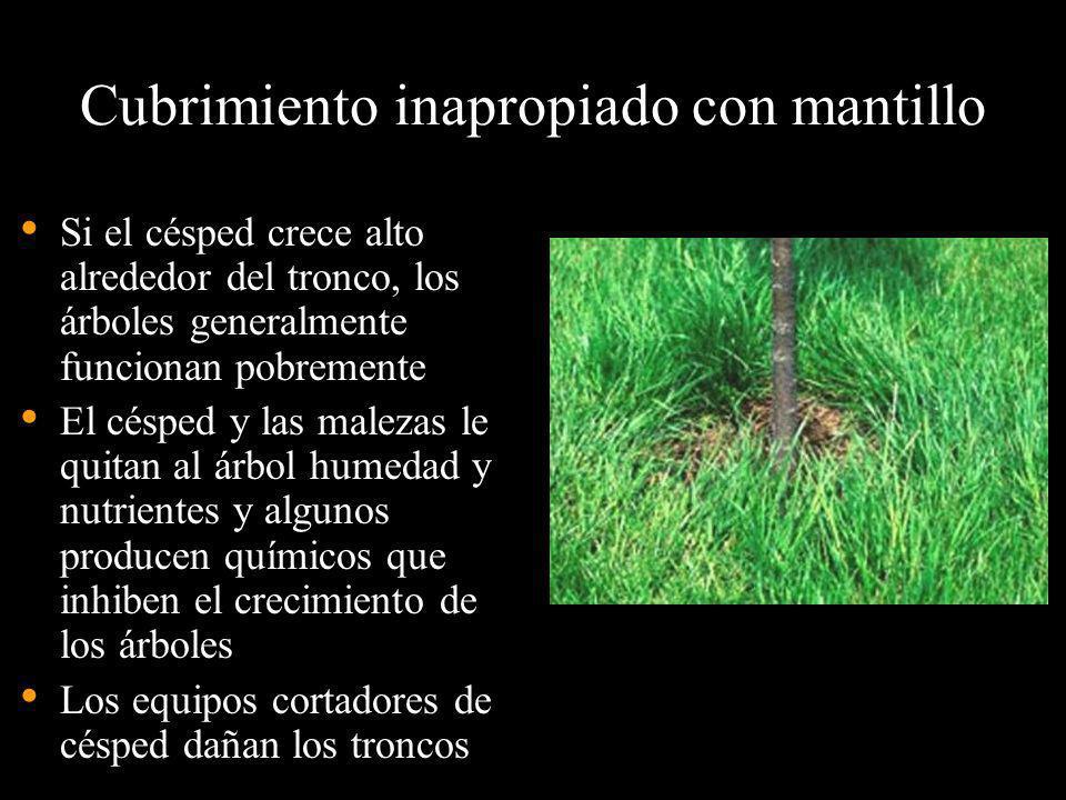 Cubrimiento inapropiado con mantillo Si el césped crece alto alrededor del tronco, los árboles generalmente funcionan pobremente El césped y las malez