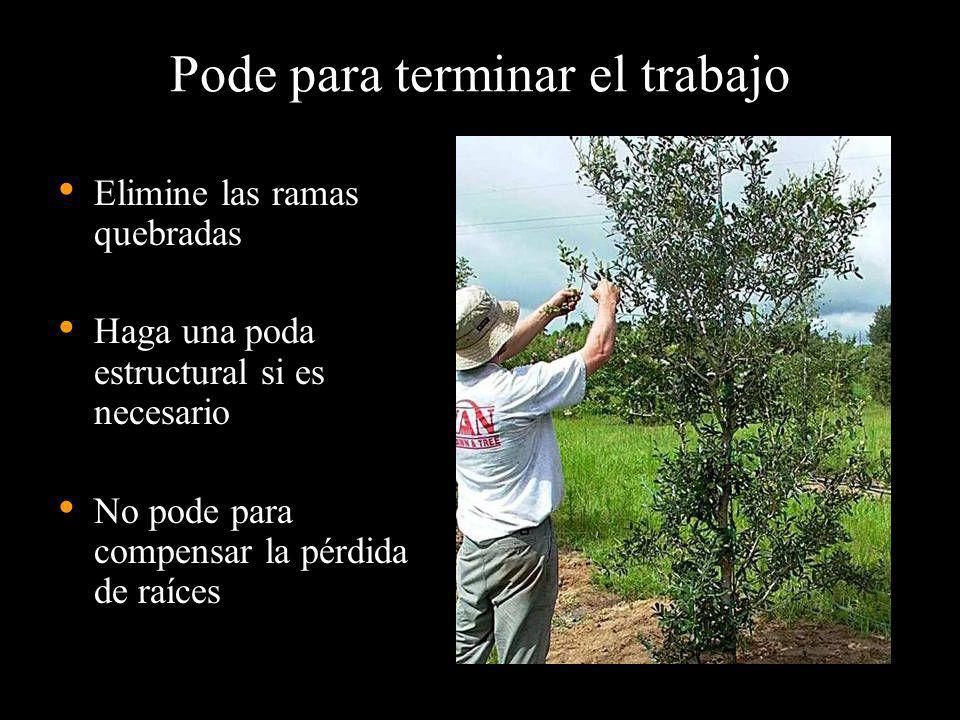 Pode para terminar el trabajo Elimine las ramas quebradas Haga una poda estructural si es necesario No pode para compensar la pérdida de raíces