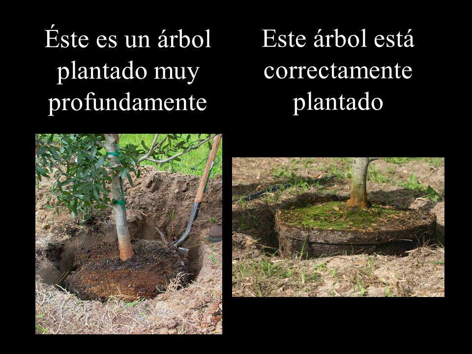 Éste es un árbol plantado muy profundamente Este árbol está correctamente plantado