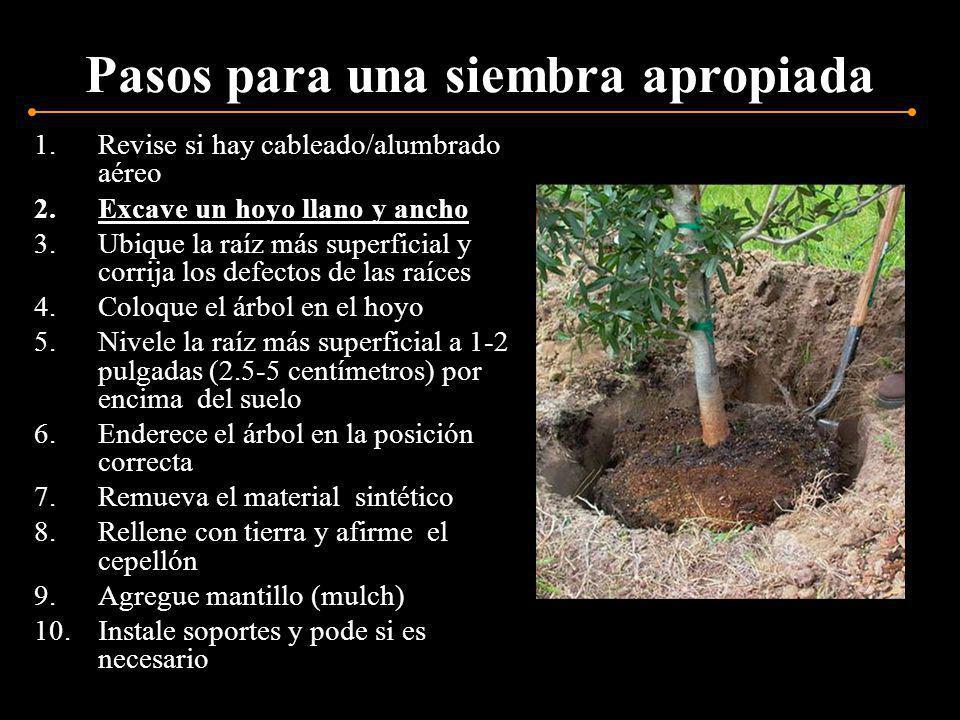Pasos para una siembra apropiada 1.Revise si hay cableado/alumbrado aéreo 2.Excave un hoyo llano y ancho 3.Ubique la raíz más superficial y corrija los defectos de las raíces 4.Coloque el árbol en el hoyo 5.Nivele la raíz más superficial a 1-2 pulgadas (2.5-5 centímetros) por encima del suelo 6.Enderece el árbol en la posición correcta 7.Remueva el material sintético 8.Rellene con tierra y afirme el cepellón 9.Agregue mantillo (mulch) 10.Instale soportes y pode si es necesario