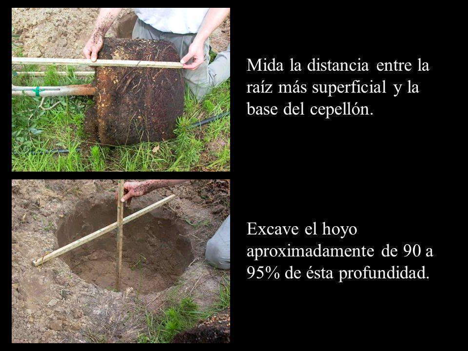 Mida la distancia entre la raíz más superficial y la base del cepellón. Excave el hoyo aproximadamente de 90 a 95% de ésta profundidad.