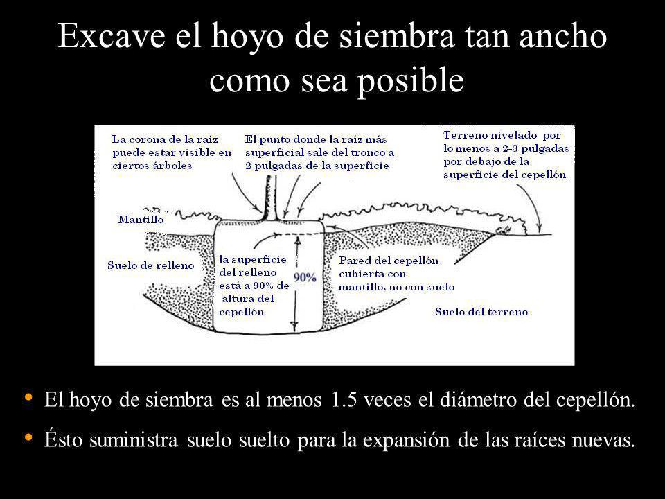 Excave el hoyo de siembra tan ancho como sea posible El hoyo de siembra es al menos 1.5 veces el diámetro del cepellón. Ésto suministra suelo suelto p